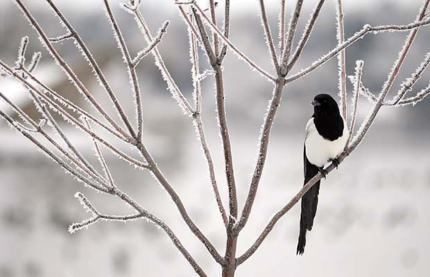 A magpie sits in a frost covered tree near Wascana Lake on 14 November 2010. Photo by Troy Fleece / Regina Leader-Post Files