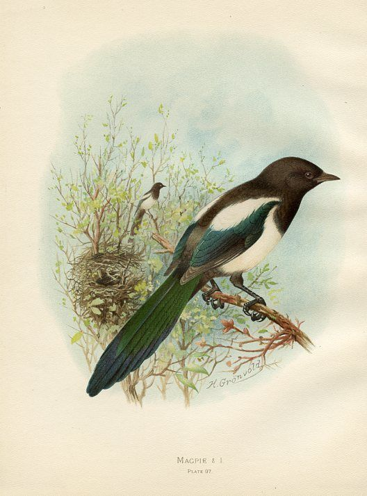 Magpie by Henrik Gronvold, ca 1890